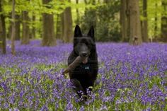 Black German Shepherds Beautiful Black German shepherd dog carrying a stick in a field of purple bluebells near the woods. - - Millions of Creative Stock Photos, Vectors, Videos and Music Files For Your Inspiration and Projects. German Shepherd Colors, Black German Shepherd Dog, German Shepherd Puppies, German Shepherds, Black Dogs Breeds, Dog Breeds, Loyal Dogs, Schaefer, Beautiful Dogs