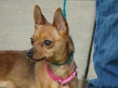 Mia is an adoptable Chihuahua Dog in Tunbridge, VT. Mia is a doll. All this dog wants is to be loved and held. The best home for Mia would be one where she gets a ton of attention, has a person to tal...