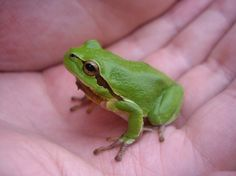 European tree frog in a hand to see its size