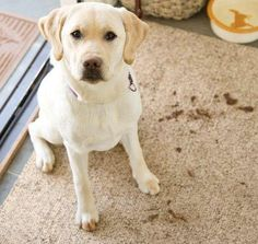 Our floor-saving Microfiber Mud Rugs absorb water and dirt from dog paws and boots to keep your floors cleaner, longer. These super-absorbent Mud Rugs are. Machine Washable Rugs, Pet Bowls, Indoor Rugs, Dog Paws, Accent Rugs, Hearth, Rug Runner, Mud, Dog Lovers