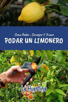 Como Y Cuando Podar Un Limonero Indoor Vegetable Gardening, Outdoor Areas, Tai Chi, Flora, Patio, Vegetables, Margarita, Interior, Fitness