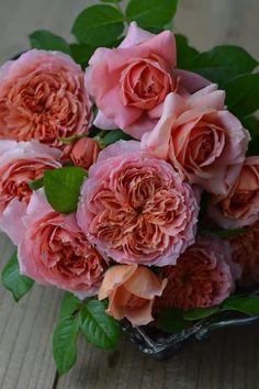 オレンジとピンクのグラデーションが綺麗なロゼット咲き ムーラン・ド・ラ・ギャレット(Moulin de la Galette)