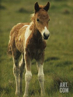 Portrait of a Young Wild Pony Foal Photographic Print by James L. Stanfield at Art.com