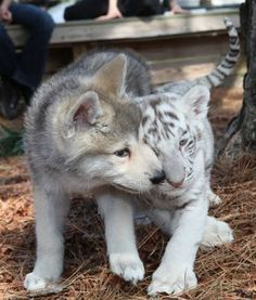 (KO) Wolf cub and tiger cub. Natural enemies if they lived in the wild on the same continent. These two are best buddies because they were raised together. No doubt zoo babies.