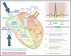 CH18 Cardiac Cycle