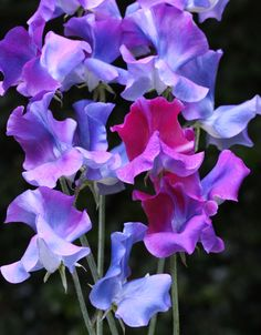 'Blue Shift' Blue Shift is a Summer flowering sweet pea that has the amazing ability to morph as it ages from pink/mauve to shades of brilliant blues and aquamarines. This is the 'bluest' colour that exists currently in sweet peas. Approximately 25 seeds per packet. Sweet Pea bred by Dr Keith Hammett