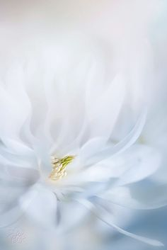 quenalbertini: Photograph Dream by Jacky Parker on Dreamy Photography, Macro Photography, Flower Photography, Soft Colors, Pastel Colors, White Flowers, Beautiful Flowers, White Roses, White Aesthetic