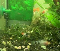 Show Class Sanke Koi Swordtail Juvenile - Very Rare Tropical Fish - Livebearer $12.11 Aquarium Fish For Sale, Tropical Aquarium, Aquarium Fish Tank, Tropical Fish, Swordtail Fish, Selective Breeding, Live Fish, Colorful Fish