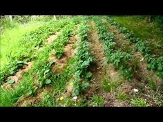 CULTURE DE POMMES DE TERRE SUR PRAIRIE SANS LABOUR - YouTube Garden Design, Permaculture, Plants, Outdoor, Patio And Garden, Growing Vegetables, Homesteading, Hostas, Herbarium