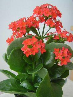 Kalanchoe blossfeldiana- like the one Hannah got Julie, hardy and grows quickly so plant in large pot.
