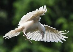 A rare white raven photographed in Coombs on Vancouver Island. Photograph by Vancouver Sun.