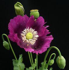 ~~pavot ~ papaver somniferum (opium poppy) by peltier patrick~~ Exotic Flowers, Tropical Flowers, Amazing Flowers, Purple Flowers, Beautiful Flowers, Yellow Roses, Pink Roses, Purple Flower Photos, Hibiscus Flowers