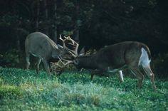 Have always wanted to see a fight between two bucks- Deer & Deer Hunting