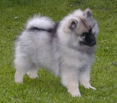 Keeshond Puppies Picture