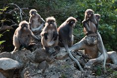 Langur Monkeys Of Ao Manao Bay Thailand by NLKStockPhotography Monkeys, Wildlife Photography, Places To Go, Thailand, Wall Art, Travel, Animals, Rompers, Viajes