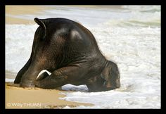 Baby Elephant having fun in Phuket Sea