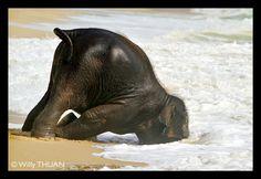 Baby Elephant having fun in Phuket Sea