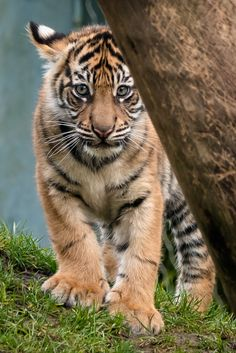 Sumatran Tiger Cub by John Vargas on 500px