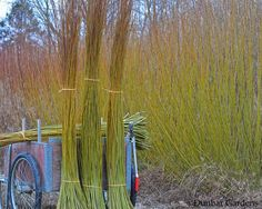 How to plant, grow and coppice basketry willows by Dunbar Gardens, willow growers and willow basket makers in Mount Vernon, Washington