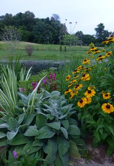 Rudbeckia with a touch of purple balsam, varigated iris foliage, and Helen Von Stein Lambs Ear to the front.