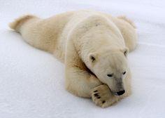 Chilling out on the snow Polar Bear Hunting, Polar Bears International, Save The Arctic, Funny Animals, Cute Animals, Sloth Bear, Morse, Spirit Bear, Bears