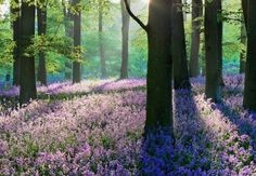 """#Ambient #Noise #Atmosphere: Listen to """"#Lavender Fields Forever"""" #Relaxing sounds of a lavender #forest for #reading, #writing, #studying and more."""