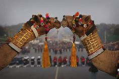 A camel kiss Decorated camels of India's Border Security Force stand in formation during a rehearsal of the Beating Retreat ceremony in New ...