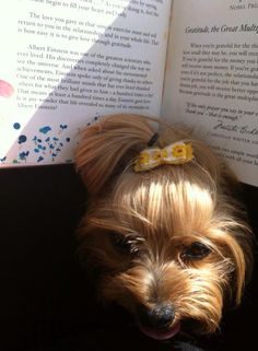 Book bothering Yorkie
