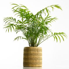 The 6 Best Plants for a Healthy Office: Areca Palm (Dypsis lutescens) Indoor Office Plants, Best Office Plants, Indoor Plants, Air Filtering Plants, Air Plants, Potted Plants, Air Cleaning Plants, Interior Plants, Plant Design