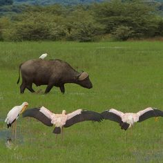 Photo by @TimLaman.  Yellow-billed Storks appear to bow to a passing African Buffalo with Cattle Egret passenger in the rich wetlands of Lake Manyara National Park, Tanzania.  Shot in Tanzania on the photo safari I was co-leading.  Head to @TimLaman to see more safari animals!  #Tanzania, #Africa, #elephant, #attitude, @thephotosociety, @natgeocreative.
