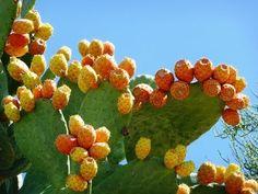 La chumbera, la planta de la vida, es capaz de curar más de 5 enfermedad...