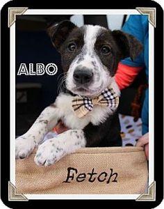Arlington, TX - Border Collie/Corgi Mix. Meet Albo, a puppy for adoption. http://www.adoptapet.com/pet/12473581-arlington-texas-border-collie-mix