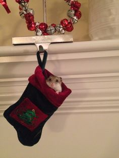 Hamster in a stocking