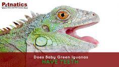 Green Iguana Care: Iguana Teeth – Does Baby Green Iguanas Have Them? Repin if you got value http://www.petnatics.com/iguana-teeth/