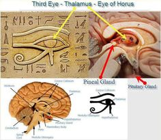 Humans are bestowed with a certain part of their brain known as the pineal gland or also known as our third eye. The reason as to why it is called pineal is for it's shape, like a pine cone. Comments comments