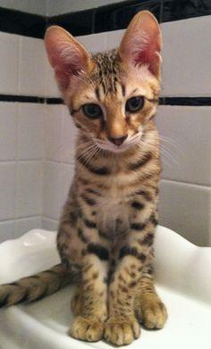 Client Brag Page - Savannah Cats - Select Exotics Tuukka - F3 Savannah #savannahcats #exoticcats #cats
