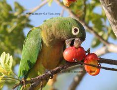 Periquito-da-caatinga (Aratinga cactorum)