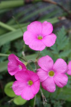 South African Red Wood Sorrel for sale buy Oxalis bowiei
