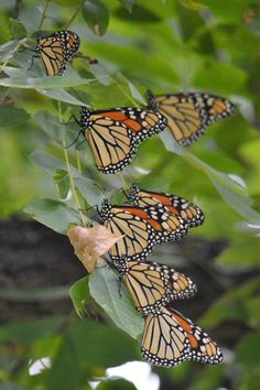 Monarch Butterfly Migration at San Angelo State Park in San Angelo, Texas