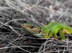 Colorsplash green lizard / Clickasnap