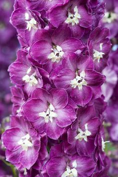 Delphinium 'Cranberry Delight' | Alan Buckingham