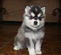 My Future Alaskan Klee Kai Puppy