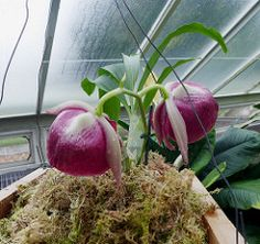 Mother-of-pearl Flower (Catasetum pileatum) (Tiggrx) Tags: red kewgardens orchid flower london orchidaceae princessofwalesconservatory catasetumpileatum motherofpearlflower