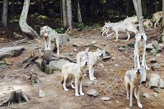 Les loups gris au Parc Oméga : un endroit incontournable si vous êtes de passage au Québec ! Gatineau, Canada, Animals, Grey Wolves, Wild Animals, Park, Animales, Animaux, Animal