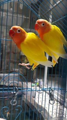 Lutino lovebirds Birds 2, Cute Birds, Pretty Birds, Beautiful Birds, Colorful Parrots, Colorful Birds, African Lovebirds, Bird Breeds, Cockatoo