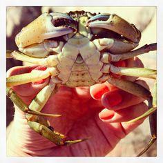 Tvedestrand krabbe