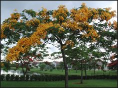Yellow Trees In Florida | ... , Flame of the Forest, Framboyan (Flamboyant tree), Peacock flower