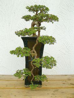 Chin.Ulme (Ulmus parvifolia).