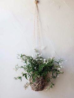 Plantar jasmim em casa : Jasmine has the kind of intoxicating scent that stops you in your tracks when… Diy Hanging, Hanging Plants, Potted Plants, Garden Plants, Indoor Plants, Tomato Plants, Air Plants, Jasmine Plant Indoor, Indoor Garden