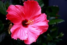 Hibiscus this color reminds me of my hisbiscus that grew in front of my housing on the Air Force base